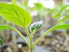 striped_german_tomato_seedling.jpg